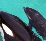 Female orca Wikie swims with her calf born by artificial insemination on April 19, 2011 at Marineland animal exhibition park in the French Riviera city of Antibes.