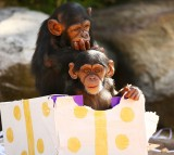 Two infant Chimpanzees play at Taronga Zoo on December 4, 2015 in Sydney, Australia.