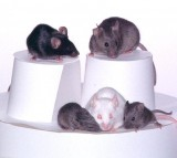 All The Participant Mice In The Cloning Process.