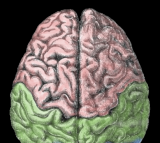 Drug Tests and Neurology Treatment to be done on Mini-Brains Developed by John Hopkins University