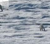 Polar Bear Cannibal