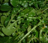 Watercress (Nasturtium officinale), a water-loving plant that is used in salads and soups.