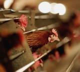 Poultry Farmer Raises Battery Chickens Amid Bird Flu Scare
