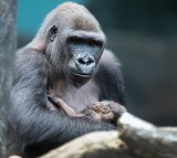 Evolution Of Man: Aggressive Behavior Shaped Posture For Optimal Fighting Performance