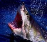 shark, fish, danger