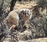 A badger peers through the bush.