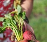 A freshly picked radish.