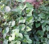 birthwort