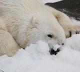Utah Zoo Polar Bear Euthanized