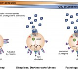 Sleep and Disease Affect the Immune System's T Cells (IMAGE)