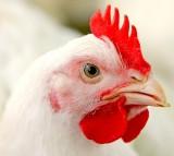 chicken, rooster, bird