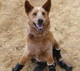 nakio, dog, prosthetics