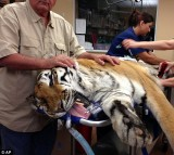 Ty the Tiger