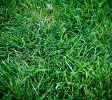 Grass, Ancestors