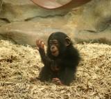Baby Chimp, Bonobo, Human, Gestures