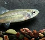 fish, fathead minnow