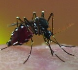 Tiger Mosquito New Jersey