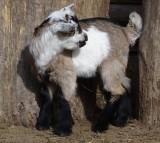 lamb, goat, animal