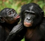 Bonobo apes,