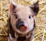 pig, piglet, animal