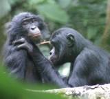 bonobo, ape