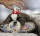 dog, Shih Tzu, pet