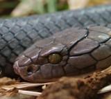 Cobra, Snake