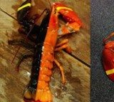 Two-tone lobster