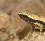 Gardiner's Seychelles Frog