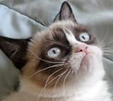 cat, grumpy, mad, pet