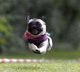 dog, run, pet, animal, happy