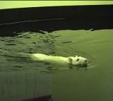 Rat, Water