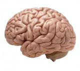 brain, human