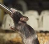Mice, drinking