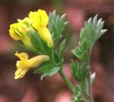 plant, Corydalis