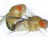 Drosophila Flies Mating