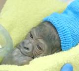 gorilla, baby