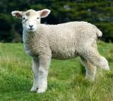 Sheep Grass New Zealand Auckland
