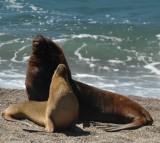 Seals, sea lions