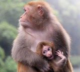A mother macaque holds a baby
