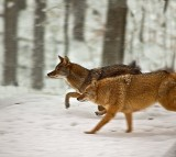 Meet the Coywolf, North America's Newest Animal Species