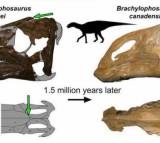 A Probrachylophosaurus visual abstract