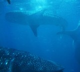 Giant Marine Animals Killed by Mass Extinction Giving Rise to Small Fish