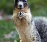 A large fox squirrel