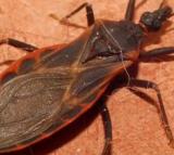 'Kissing Bug'