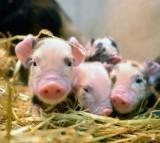 Newly born Kunekune piglets.