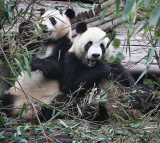 Giants pandas eat bamboo in an enclosure at the Chengdu Research Base of Giant Panda Breeding on June 30, 2015 in Chengdu, China.